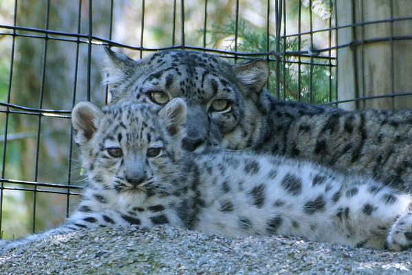 Syracuse Zoo Baby Snow Leopards