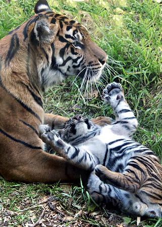 Tiger Cubs 11 Weeks Old