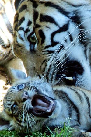 Tiger Cubs 12 Weeks Old