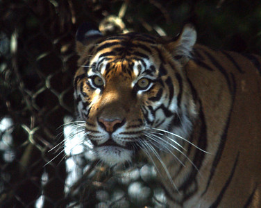 Tiger Cubs 14 Weeks Old