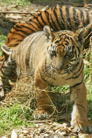 Tiger Cubs 15 Weeks Old