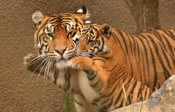 Tiger Cubs 16 Weeks Old