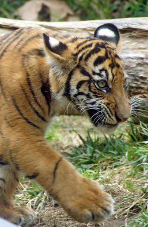 Tiger Cubs 17 Weeks Old