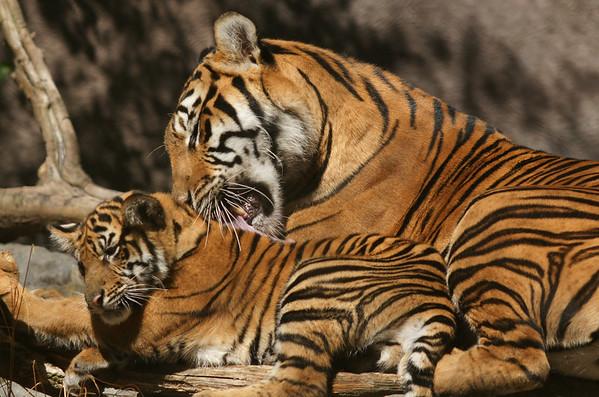 Tiger Cubs 20 weeks old