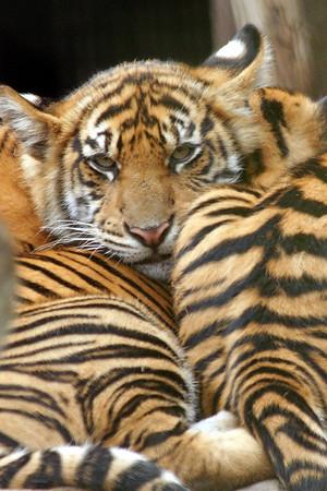 tiger Cubs 21 Weeks Old