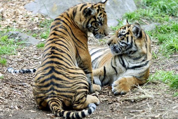 Tiger Cubs 22 Weeks Old
