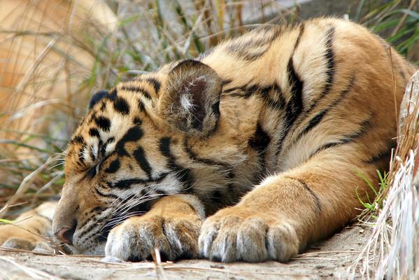 Tiger Cubs 23 Weeks Old