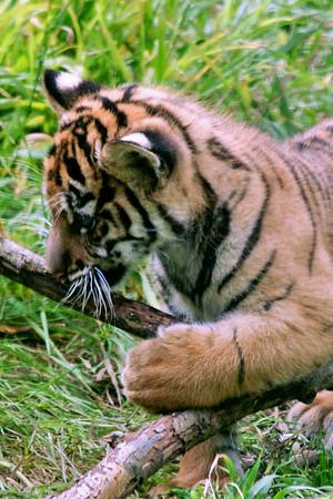 Tiger Cubs 8 Weeks old