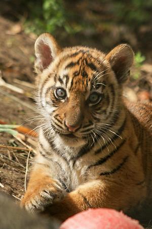 Tiger Cubs 9 Weeks Old