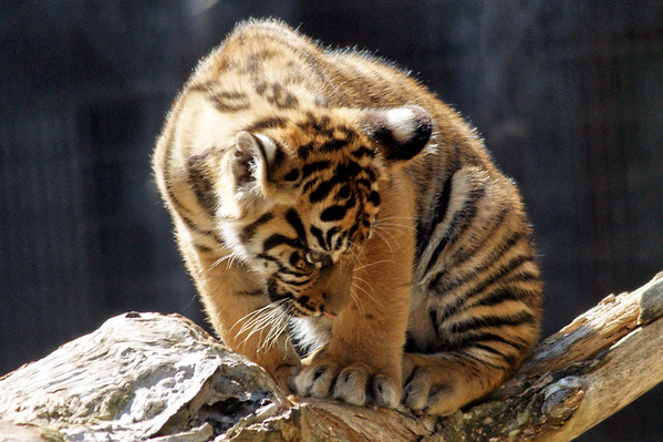 tiger cubs 13 Weeks Old