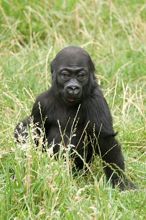 Yet another gorilla gallery