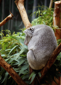 Sleeping Koala Cleveland Metroparks Zoo