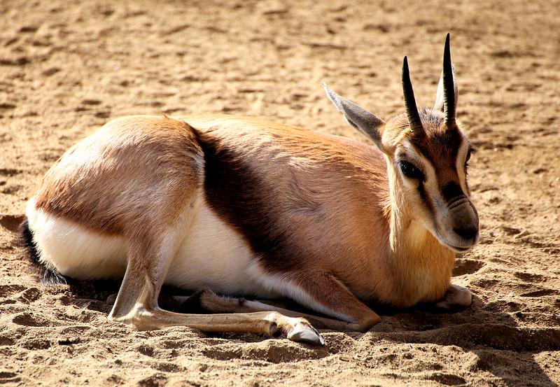 Oryx baby.jpg