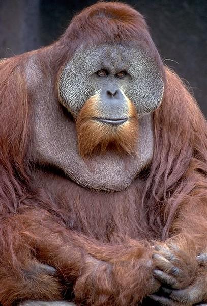 Orangutan #4