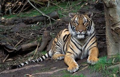 Tiger #2