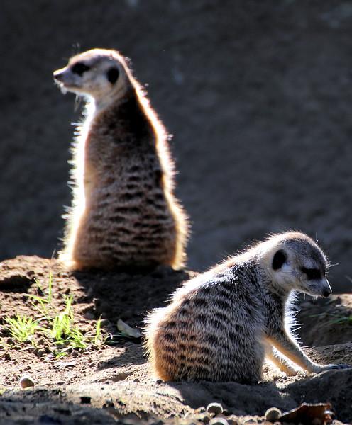 Meerkat 2.jpg