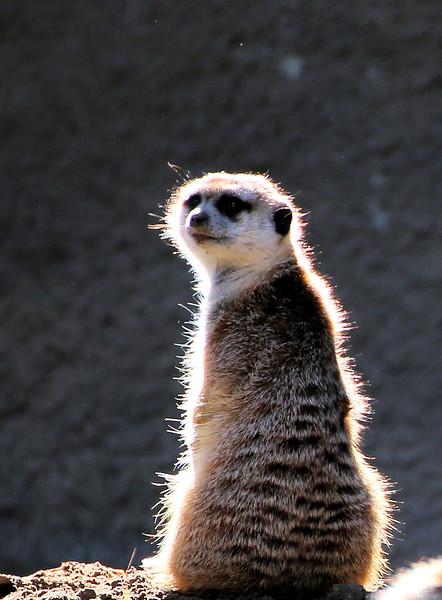 Meerkat far.jpg