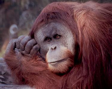 Orangutan #2