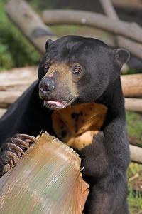 Asian Sun Bear #2