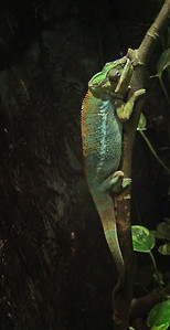 Panther Chameleon Cleveland Metropark Zoo