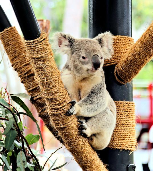 Vivid Koala 8.18.jpg