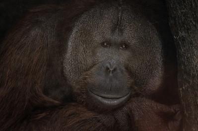 Gorilla Cleveland Metropark Zoo