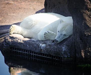 Polar Bear Columbus Zoo 2012