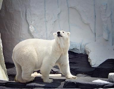 Polar Bear Sea World SanDiego, CA 6/2009