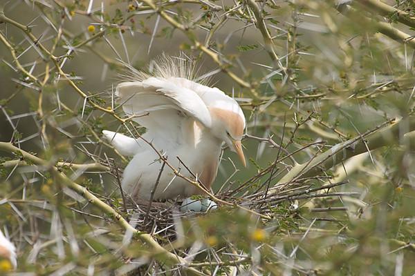 Shorebird on nest