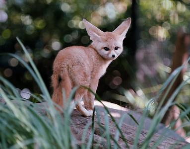 African Fennec Fox
