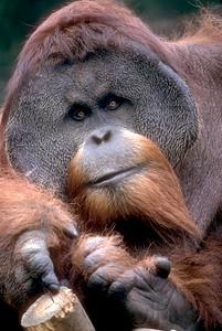 Orangutan #1
