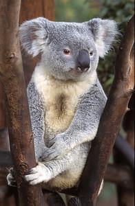 Koala #2