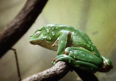 Giant Waxy Tree Frog Cleveland Metroparks Zoo