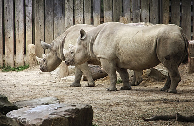 Rhinos Cleveland Metroparks Zoo
