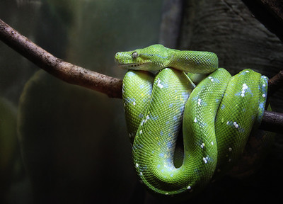 Green Tree Python Cleveland Metroparks Zoo