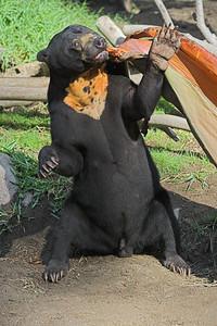 Asian Sun Bear #1