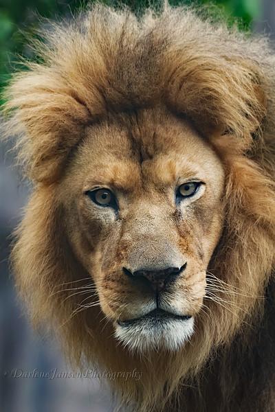 Lion at Milwaukee County Zoo