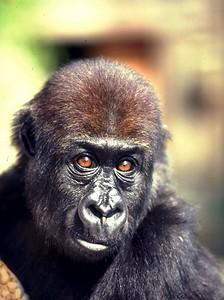 Alberta, baby lowland gorilla