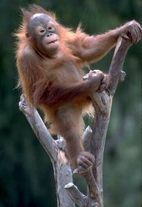 Orangutan #3