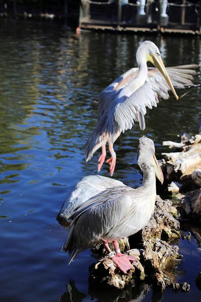 pelican tippy toes.jpg