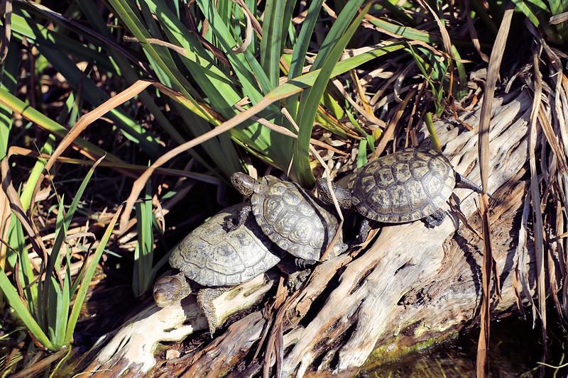 IMG_2118 Turtles SD Zoo 2017.jpg