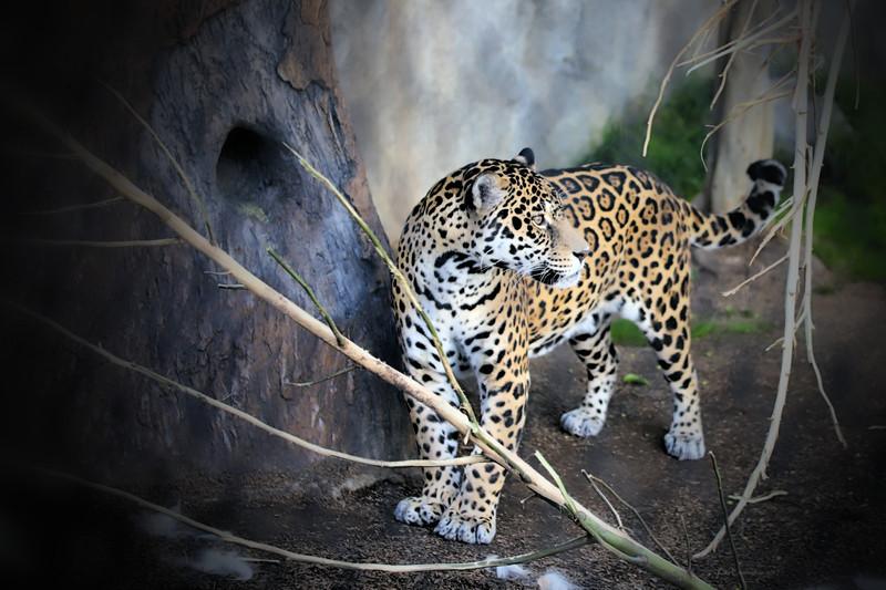 IMG_2763 Jaguar San Diego Zoo 12.28.2017 Signed Vignette Sharp.jpg