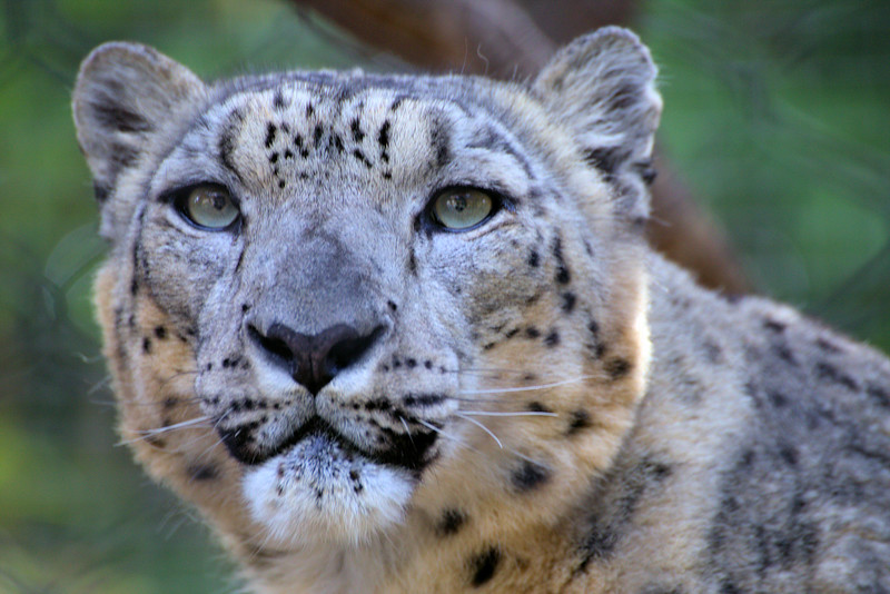 Snow Leopard Face 1.16.17.jpg