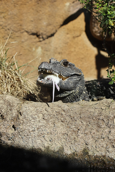 IMG_2701 Black gator dont talk with mouth full.jpg