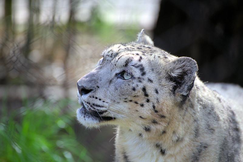 Snow Leopard 1.16.17 (2).jpg