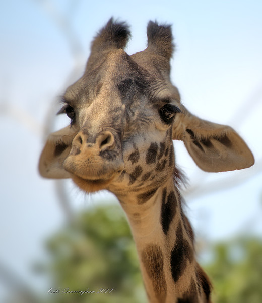 Giraffe Face Cute 6.24.2017.jpg