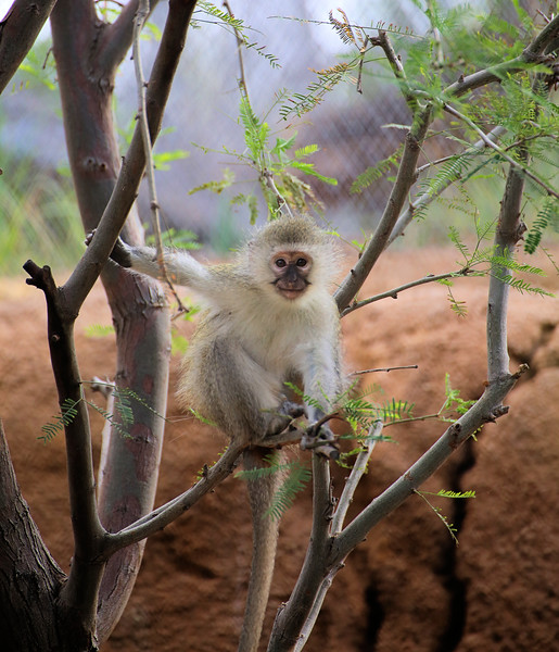 IMG_1943 San Diego Zoo_Young Monkey Africa Rocks 2.jpg