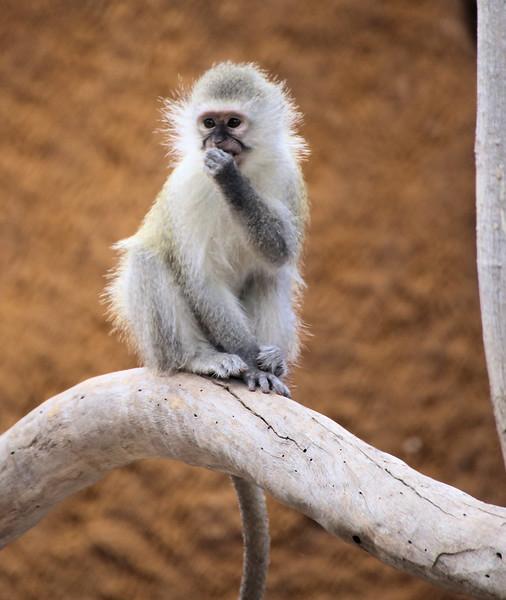 IMG_1948_Vervet Monkey 2017.jpg