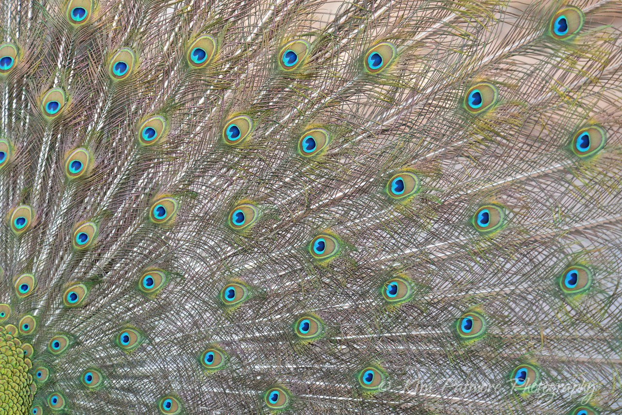Peacock Feathers, Denver Zoo
