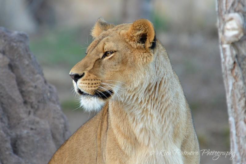 Reflecting Lion, Denver Zoo